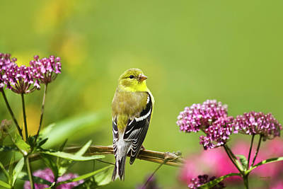 Finch Photograph - American Goldfinch-2 by Christina Rollo