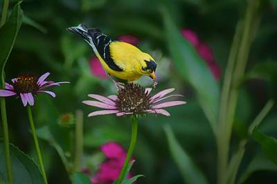 Photograph - American Goldfinch - 2 by Nikolyn McDonald