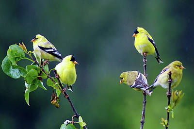 Photograph - American Goldfinch #8 by Ben Upham III