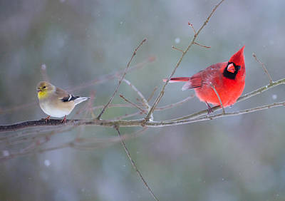 Photograph - American Goldfinch And Northern Cardinal by Melinda Fawver