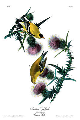Goldfinch Drawing - American Goldfinch Audubon Birds Of America 1st Edition 1840 Octavo Plate 181 by Orchard Arts