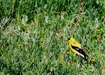 Photograph - American Goldfinch  by Christy Pooschke
