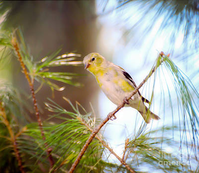 Bird Photograph - American Goldfinch Coming In To Yellow by Kerri Farley
