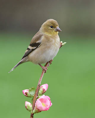 Photograph - American Goldfinch by Doug Herr