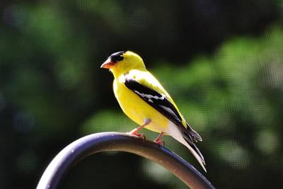 Photograph - American Goldfinch by Eileen Brymer