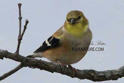 Photograph - American Goldfinch Female 5661 by Captain Debbie Ritter