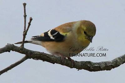 Photograph - American Goldfinch Female 5662 by Captain Debbie Ritter