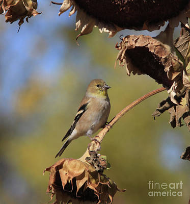 Flower Photograph - American Goldfinch by Gary Wing