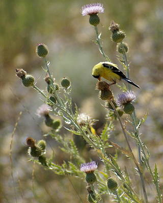 Photograph - American Goldfinch Having Lunch On Bakery Hill by Ben Upham III