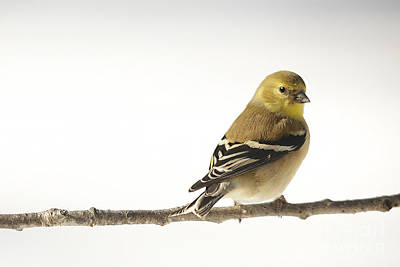 Photograph - American Goldfinch In Snow by Jemmy Archer