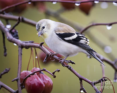 Photograph - American Goldfinch In The Rain by Ricky L Jones