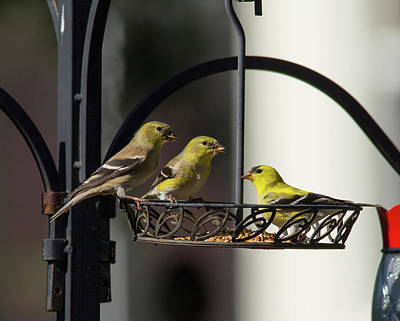 Photograph - American Goldfinch by John Black