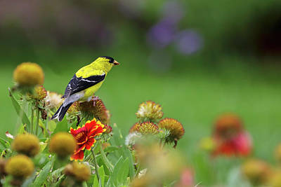 Art Print featuring the photograph American Goldfinch by Juergen Roth