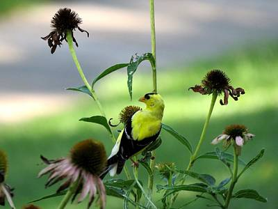 Photograph - American Goldfinch by Keith Stokes