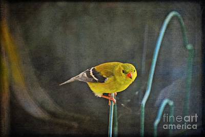 Photograph - American Goldfinch by Mary Machare