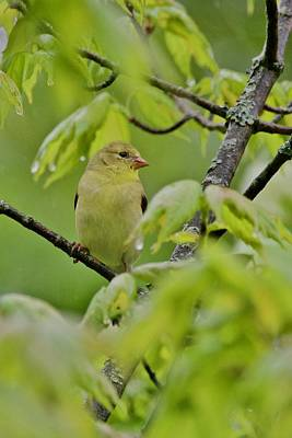 Photograph - American Goldfinch by Michael Peychich