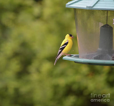Photograph - American Goldfinch No Food  by Ruth Housley