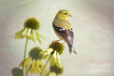 American Goldfinch On Coneflower Art Print by Sharon McConnell