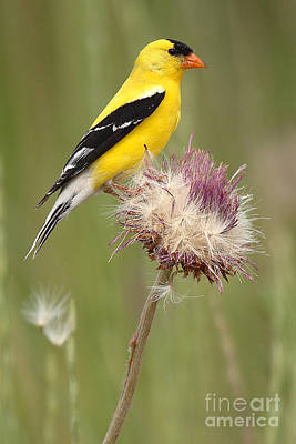 Goldfinch Wall Art - Photograph - American Goldfinch On Summer Thistle by Max Allen