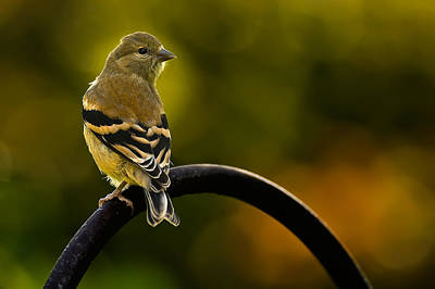 Photograph - American Goldfinch by  Onyonet  Photo Studios