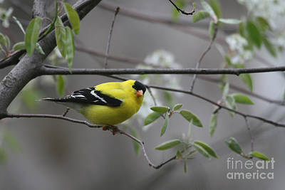 Photograph - American Goldfinch by Paula Guttilla