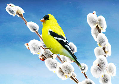 Finch Wall Art - Photograph - American Goldfinch Perched On Pussy Willow by Laura D Young