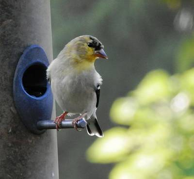 Photograph - American Goldfinch Posing by Belinda Lee
