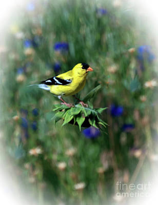 Photograph - American Goldfinch by Robert Bales