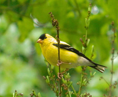Photograph - American Goldfinch Sittin' In A Tree by Emmy Vickers