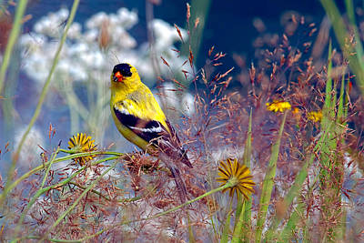Photograph - American Goldfinch With Seed by Sharon Talson