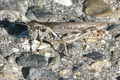 Photograph - American Grasshopper by Frank Townsley