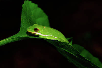 Purely Purple - American green tree frog - Hyla cinerea by Jeff Jarrett