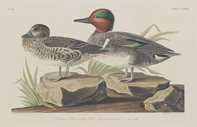 Cormorant Drawing - American Green-winged Teal by Dreyer Wildlife Print Collections