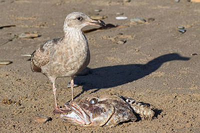 Photograph - American Herring Gull With Cabezon by Kathleen Bishop