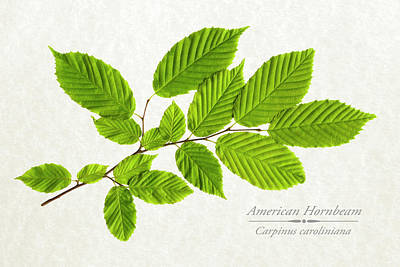 Photograph - American Hornbeam by Christina Rollo