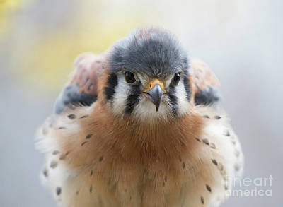 Photograph - American Kestrel 1 by Chris Scroggins