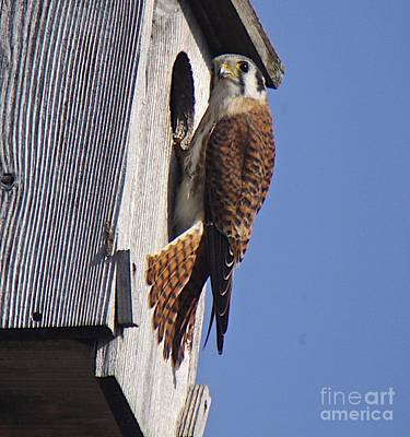 Red Tail Hawk Mixed Media - American Kestral-2 by Robert Pearson