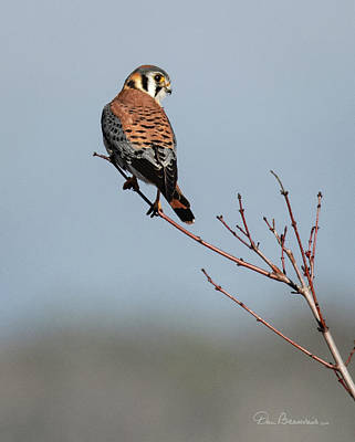 Dan Beauvais Royalty-Free and Rights-Managed Images - American Kestrel 8052 by Dan Beauvais
