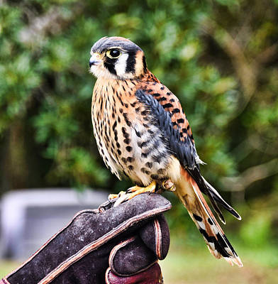 Photograph - American Kestral by Linda Brown
