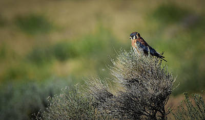 Photograph - American Kestrel 2 by Rick Mosher
