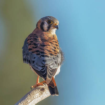 Photograph - American Kestrel 3 by Angie Vogel
