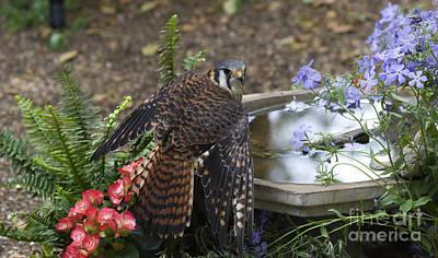 Photograph - American Kestrel At A Birdbath by Jill Lang