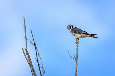 Photograph - American Kestrel At Bosque Del Apache New Mexico by Debra Martz