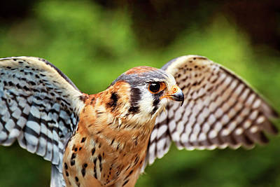 Photograph - American Kestrel - Bird Of Prey by Peggy Collins