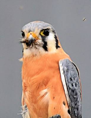 Photograph - American Kestrel by Charles HALL