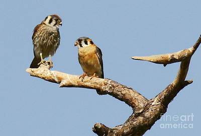 Photograph - American Kestrel Couple by Myrna Bradshaw