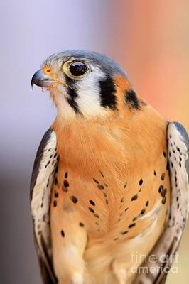 Photograph - American Kestrel by Frank Townsley