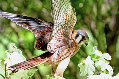 Photograph - American Kestrel Hawk by Kevin McCarthy