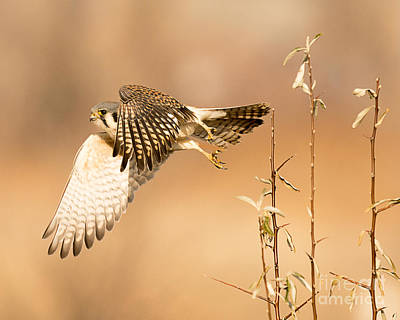 Animals Photos - American Kestrel Hunting by Dennis Hammer