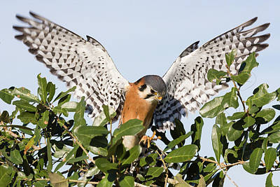 Photograph - American Kestrel II by Dawn Currie